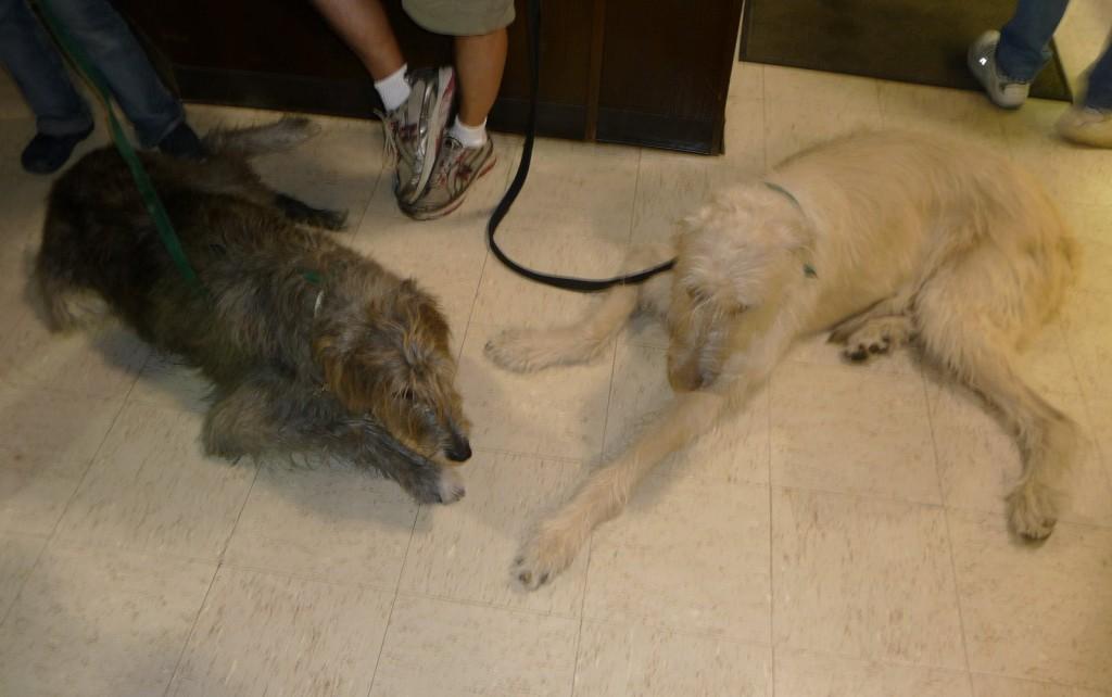 Irish wolf hounds